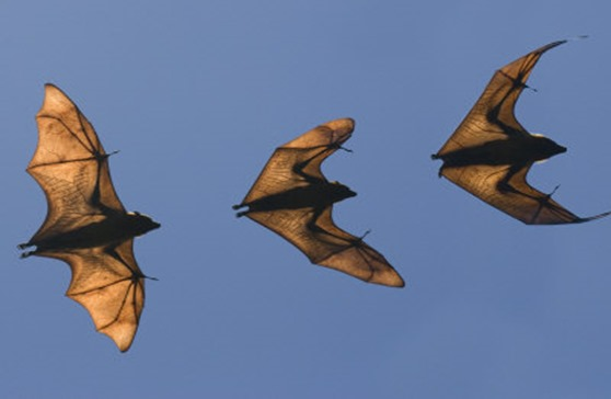 giesbers-edwin-madagascar-fruit-bat-flying-fox-berenty-reserve-madagascar